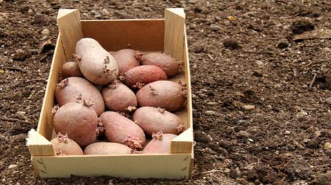 Антикризисный вариант: размножаем редкие сорта картофеля