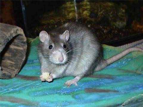 крысуня