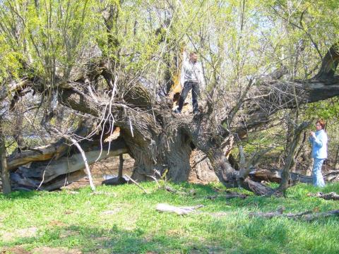 Дереву больше трех веков