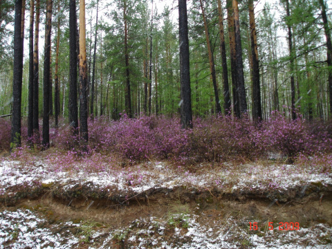 Цвет багульника в Забайкальском лесу