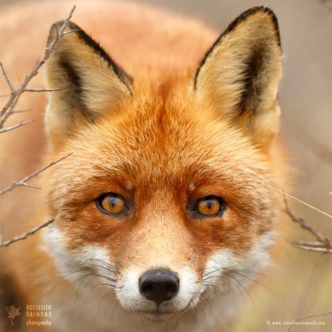 У каждой лисицы свой характер!