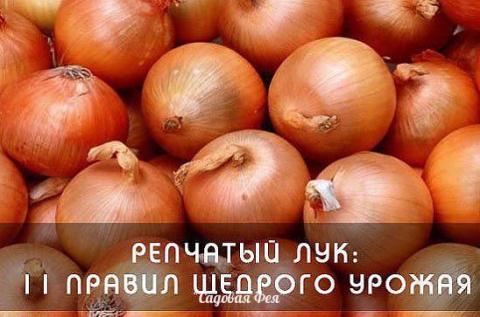 Одиннадцать правил щедрого урожая лука