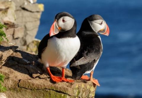 Сотни мертвых птиц тупиков обнаружили на Аляске