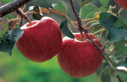 Яблоко на ужин - и доктор не нужен