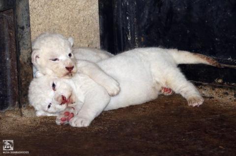 В зоопарке Тбилиси львица Клеопатра родила троих белоснежных львят