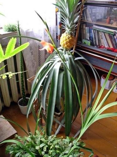 9 правил выращивания ананаса дома