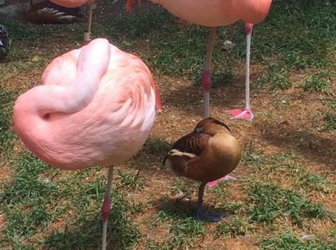 Эти утки думают, что они – фламинго.