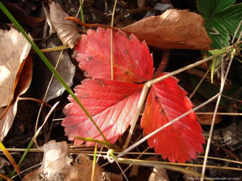 Надо ли скашивать листья земляники?