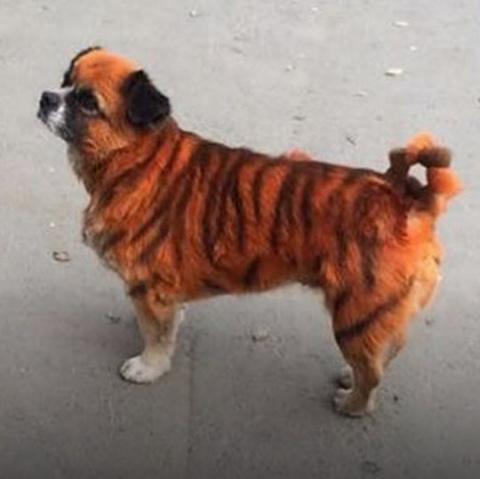 Пес из Владивостока с тигров…