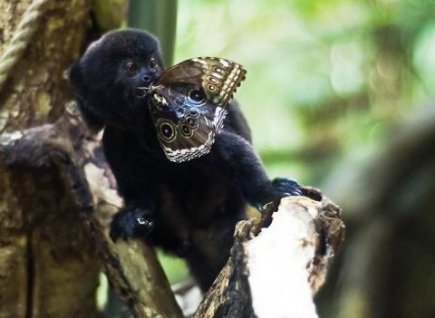Мармозетка Гёльди – самая крохотная обезьянка
