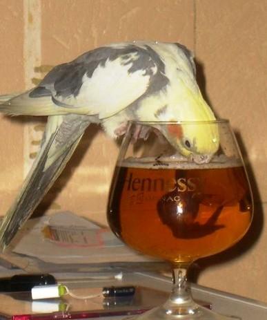 Пьющий попугай — это горе в семье!