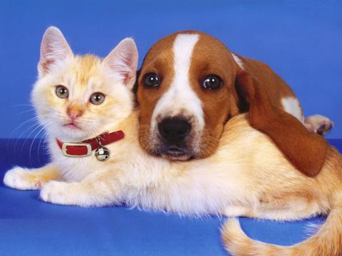 Как знакомить кошку и собаку. Горилла – самая крупная человекообразная обезьяна