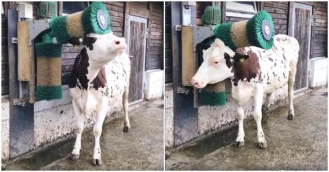 Корова в восторге от новой щ…