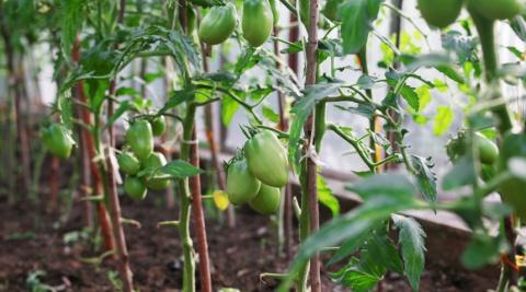 Чем подкармливать помидоры в…