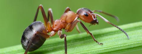 Как избавиться от муравьев, инструкция по борьбе с вредителем с помощью нашатырного спирта