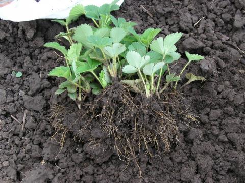 Отличный способ выращивания рассады земляники