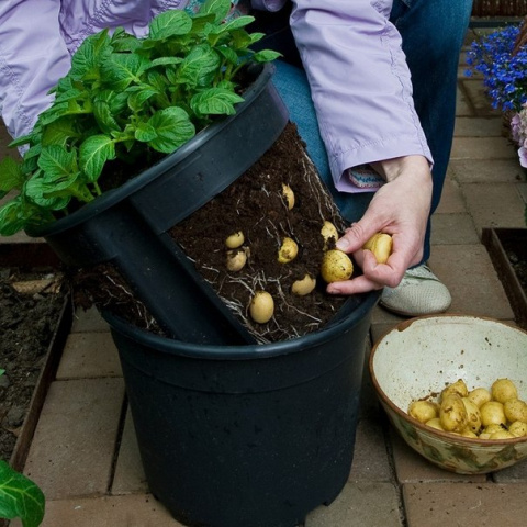 Выращиваем зимой молодую картошечку... под кроватью!