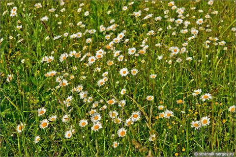 Трогательные полевые цветы