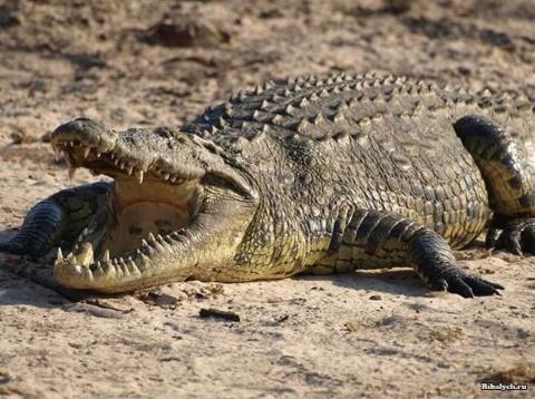 Крокодил в Африке откусил ту…