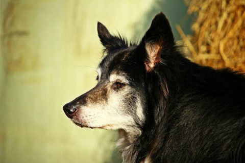 Старая, покалеченная собака …