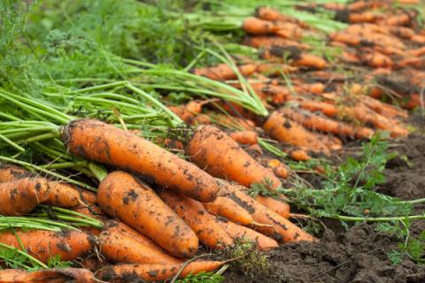 Когда и как убирать морковь