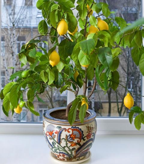 Выращиваем лимон дома
