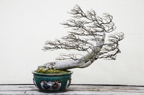 Волшебство в миниатюре: многовековое мастерство сэнсэйев бонсай