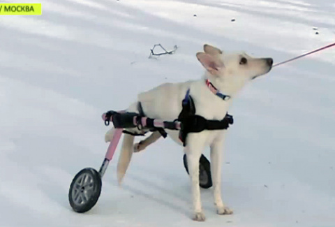 Двуногой собаке из Подмосковья подарили новую жизнь