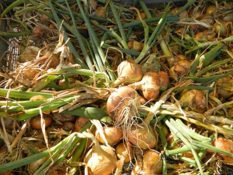 После уборки урожая сею на грядки сидераты и всегда получаю отличные урожаи