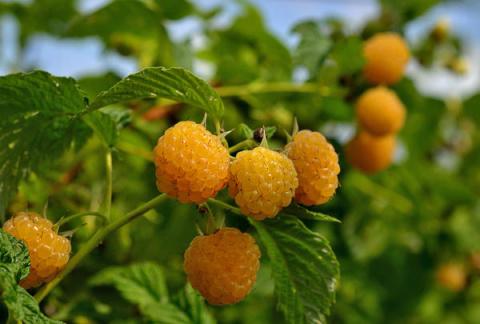Малина абрикосовая - это просто чудо!