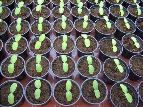 Пятнадцать «нельзя» при выращивании рассады
