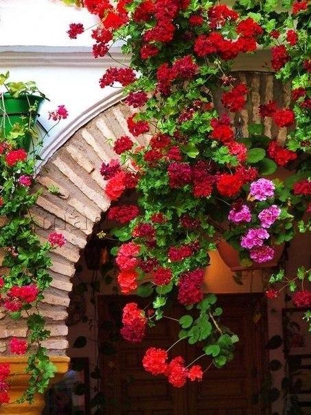 Чтобы герань всегда радовала цветением