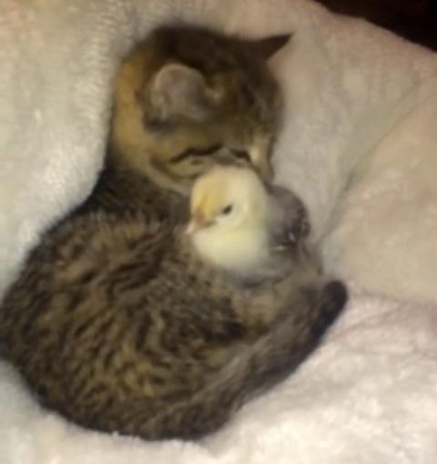 Маленький котенок стал мамой крошечному цыпленку