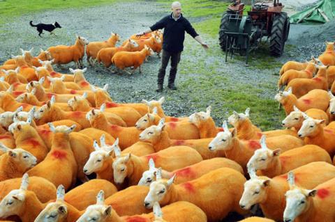 Зачем фермер покрасил 800 овец в оранжевый цвет?
