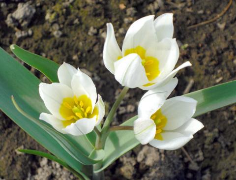 Тюльпаны «под прикрытием»