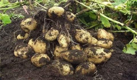 Как с 20 кустов собрать 40 ведер картофеля