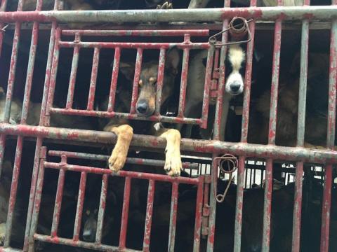 История спасения 300 собак, которых везли на рынок мяса
