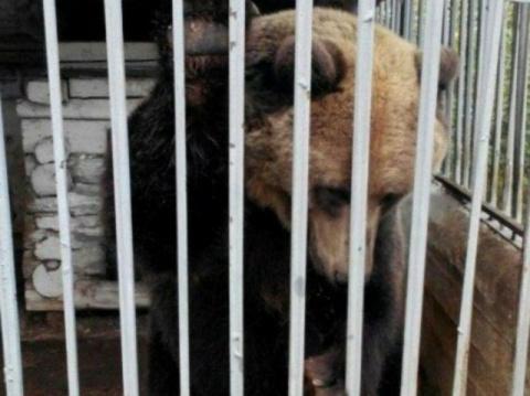 Пермские зоозащитники выкупили медведицу Умку, хозяин которой хотел от нее избавиться
