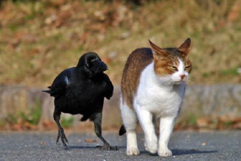 12 фото забавных и хитрых ворон, которые могут быть весьма сообразительными