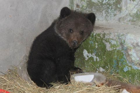 В Омской области медвежонок,…