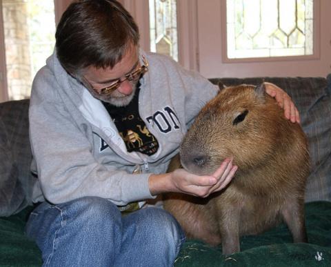 Капибара - самый крупный грызун в мире