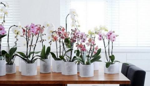 Как заставить Орхидею фалено…