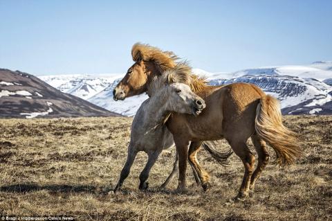 Грация диких лошадей на сним…