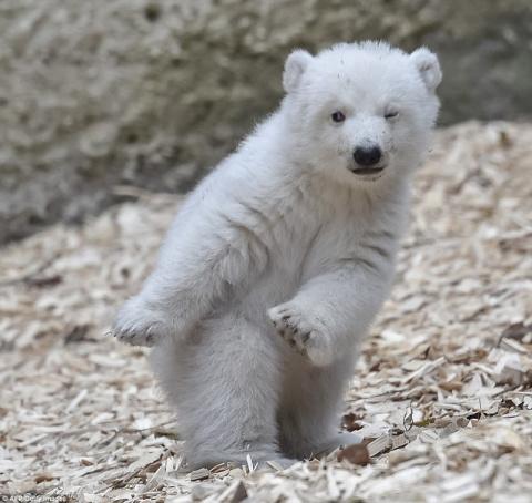 Белый медвежонок делает первые шаги