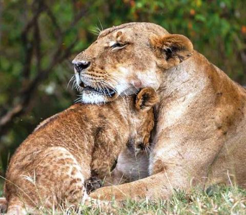 Как львиный прайд спасал льв…