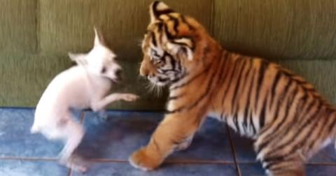 Тигр и собака оказались запе…