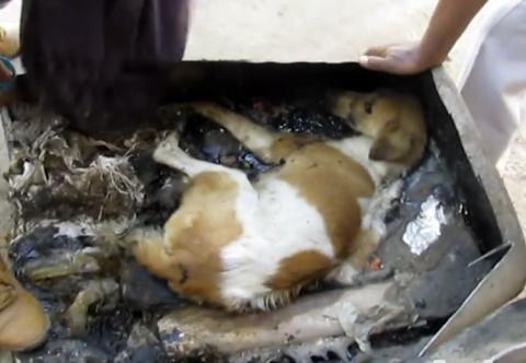 Этой собаке суждено было погибнуть в бочке с дегтем…