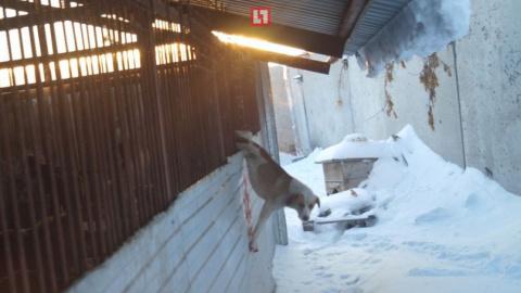 В Омске спасли собаку, несколько часов провисевшую на заборе