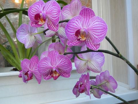 """Как пересадить орхидею """"Фаленопсис"""" - пошаговая инструкция"""