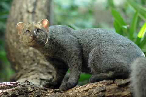 КОШКИН ДОМ. Ягуарунди – необычный представитель семейства кошачьих